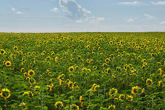 A Sea of Sunflowers by Matt Dobson