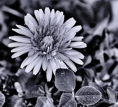 A simple daisy by Edward Hamilton