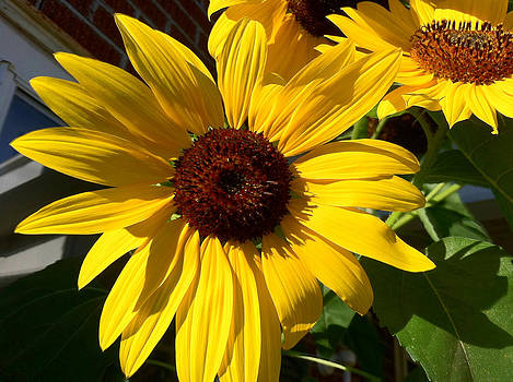 A Sunflower's Song by Tanya Renee Herb