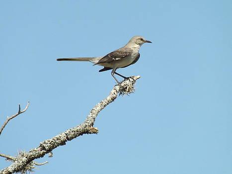 A Texas Mockingbird by Rebecca Cearley
