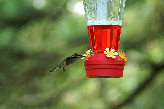 A Tiny Little Ruby-Throated Hummingbirds by Kim Pate