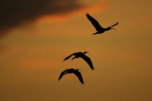 A Trio Of Scarlet Ibises, Eudocimus by Tim Laman