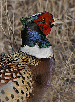 A Very Pheasant Color by David Marr
