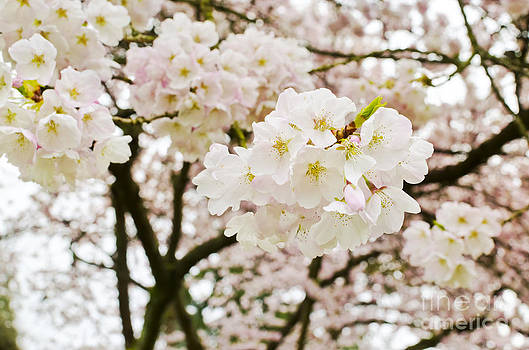 A Vision of Blossoms by Maria Janicki
