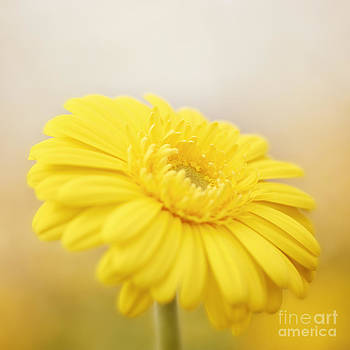 LHJB Photography - A yellow gerbera