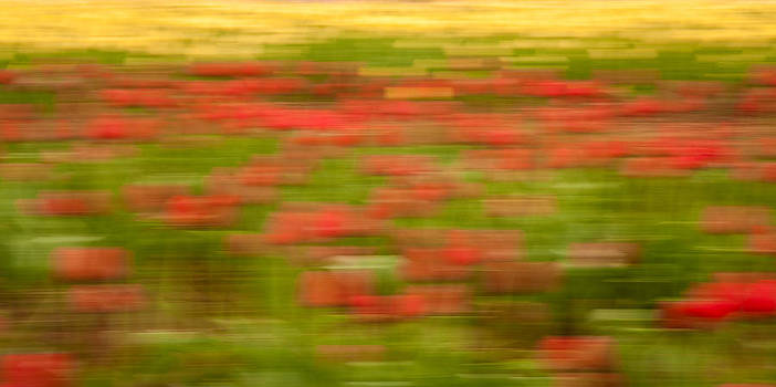 Matt Dobson - Abstract Tulips Panorama