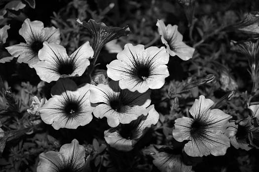 Achromatic Petunias by Mose Mathis