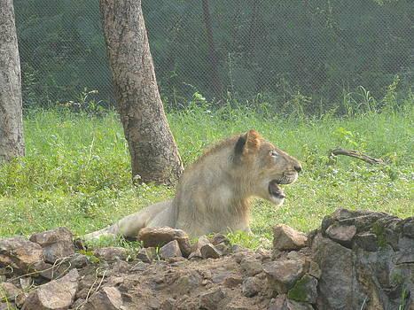Active Lion by Haroon  Basha