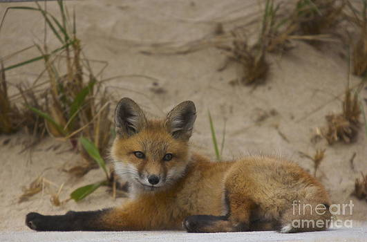 Adorable Baby Fox by Amazing Jules
