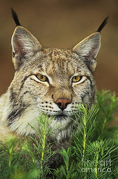 Dave Welling - adult lynx felis lynx wildlife rescue