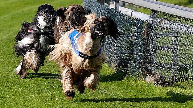 Afghan Hound Racing   by Olde Time  Mercantile