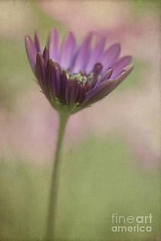 Elena Nosyreva - African daisy