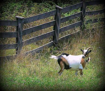 African Farm Goat-2 by Jo Anna Wycoff