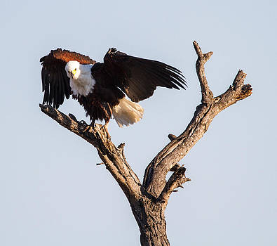 African Fish Eagle by Craig Brown