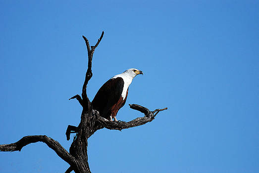 African Fish Eagle by Frank Gaffney