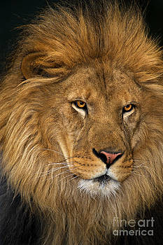 Dave Welling - african lion panthera leo wildlife rescue