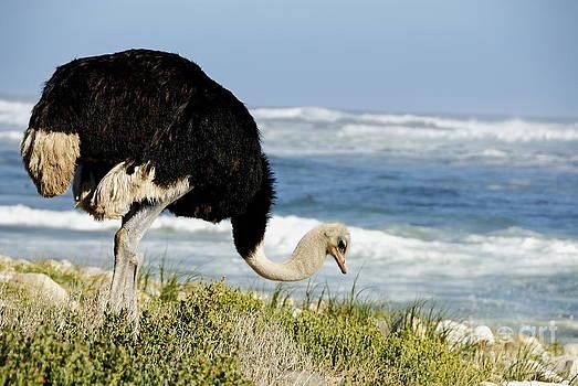 African Ostrich foraging next to beach by Sami Sarkis