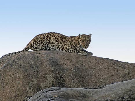 Jeff Brunton - African Safari Leopard 1