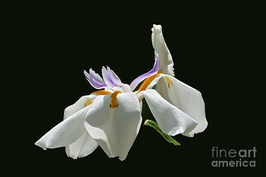 Byron Varvarigos - African Wild Iris rectangular frame