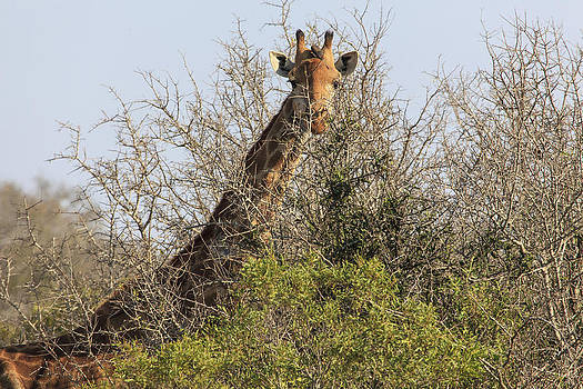 African Wildlife 0096 by Larry Roberson