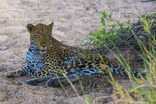 African Wildlife 0139 by Larry Roberson