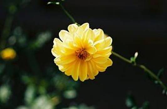 African Yellow Flower by Ginger Bear