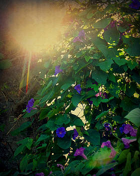 Terry Eve Tanner - Afternoon Sun on the Morning Glories