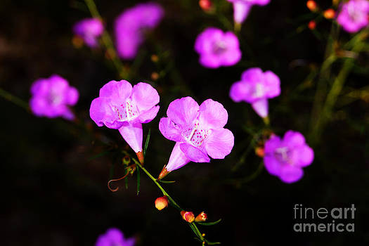 Agalinis paupercula or False Foxglove by Kim Pate