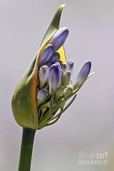 Kate Brown - Agapanthus Blue