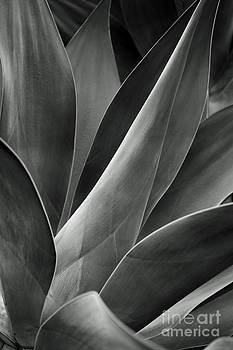 Charmian Vistaunet - Agave in Black and White