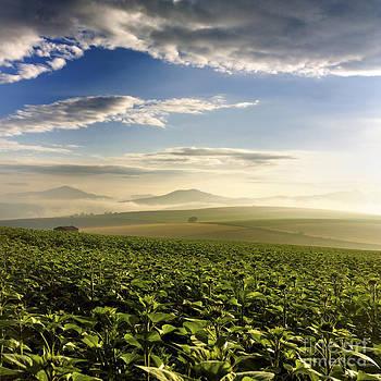 BERNARD JAUBERT - Agricultural landscape. Sunflowers. Auvergne. France.