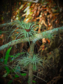 Air Plants on Live Oak by Phil Penne