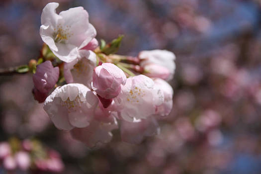 Akebono Cherry Blossoms by Gerry Bates