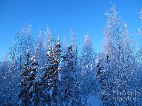 Alaska Sunrise Illuminating Spruce Trees Among Birches by Elizabeth Stedman