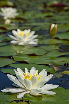 Alligator Lilies by Greg Mills