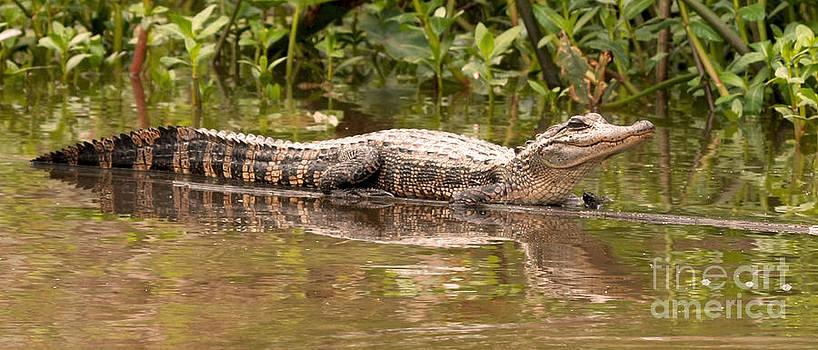 Alligator Sunning in Louisiana Swamp by Luana K Perez
