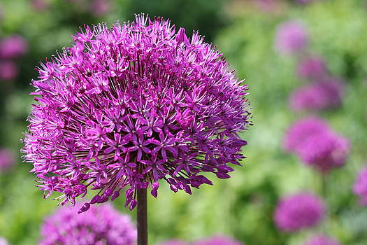 Allium  by Emma Manners