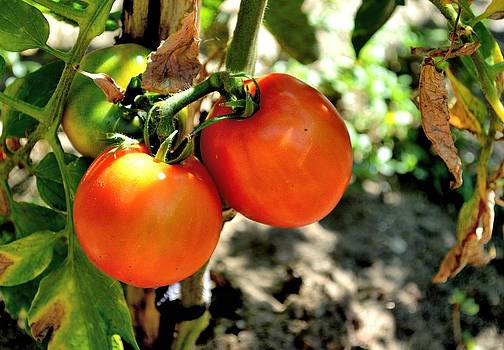 Ion vincent DAnu - Almost Ripe Tomatoes close-up