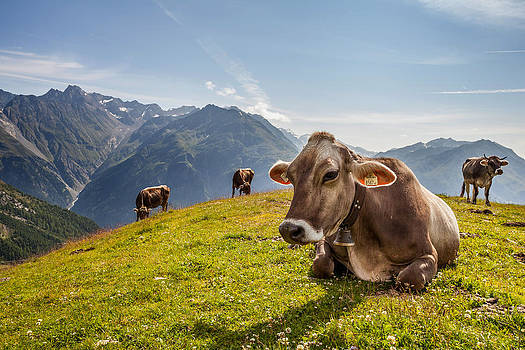 Alps cow by Cristian Mihaila
