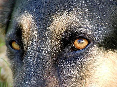 Alsatian German Shepherd Eyes by Lisa Anne McKee