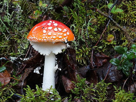 Amanita Muscaria by Laurie Cartwright