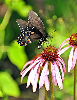 Marty Koch - Amazing Butterfly