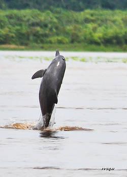 Allen Sheffield - Amazon Dolphin Breaching