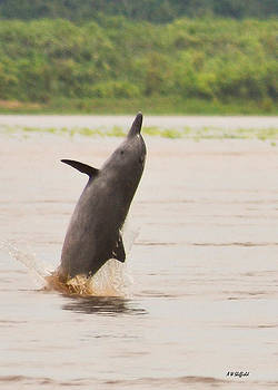 Allen Sheffield - Amazon Gray Dolphin Breaching