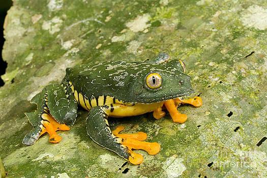 Gregory G Dimijian MD - Amazon Leaf Frog
