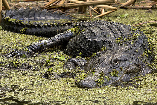 American Alligator Smile by Meg Rousher