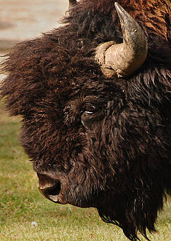American Bison by Stephanie Thomson