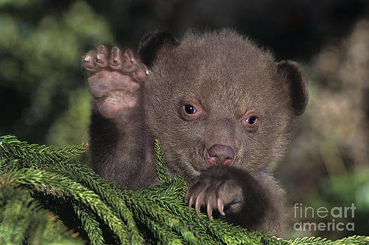 Dave Welling - American Black Bear Cub Wildlife Rescue
