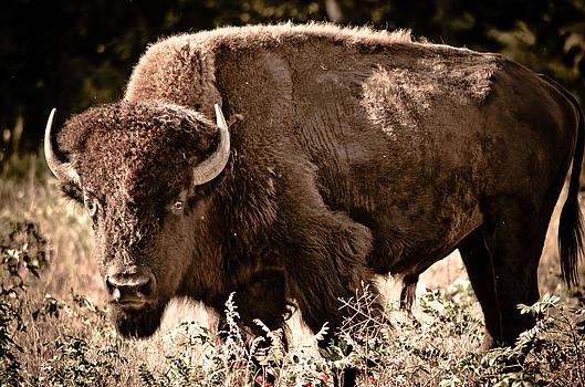 American Buffalo by Swift Family