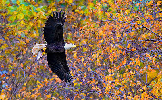 American Eagle in Autumn by William Jobes